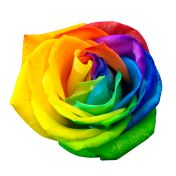 46552481 - close up of happy rose : rainbow flower with colored petals isolated by clipping path on white background